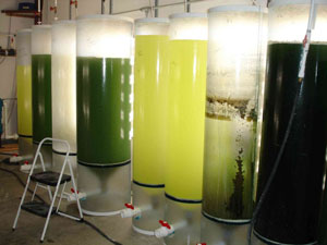 Photo of Large translucent cylinders filled with water, in which algae grow