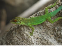 Another Anolis lizard, Anolis lividus, on the Caribbean island of Montserrat. Credit: Lauren Buckley