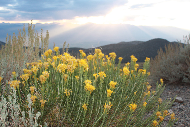 Rabbitbrush flowers in the White Mountains of California.