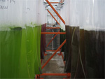 Bags of red and green algae grown for biofuels research hang in the UCSD greenhouse.