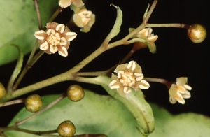 Photo of Amborella Flowers