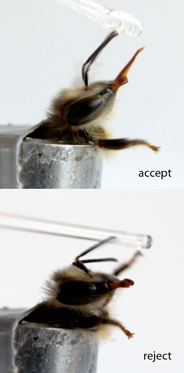 Bee accepting/rejecting sugar water