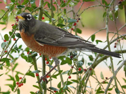 Photo of robin in Holly tree