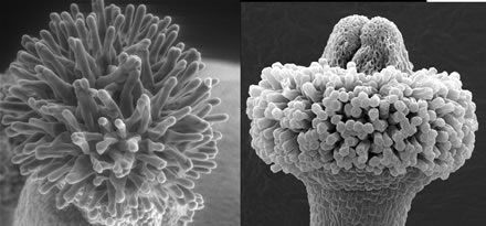 Electron microscope image of the female portion of a normal (left) and auxin-deficient (right) flower.