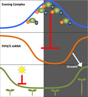 Evening Complex peaks in activity at sunset; its activity inhibits PIF4/5 mRNA, which promotes growth, except when inhibited by sunlight