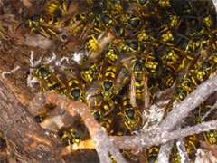 Photo of a swarm of yellowjackets