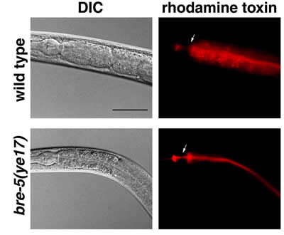 Microscopic photos of wild-type and resistant roundworms comparing DIC and rhodamine toxin effects