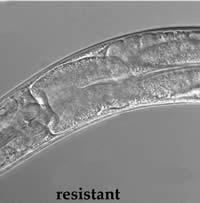 Microscopic photo of resistant roundwarm that was fed Bt toxin