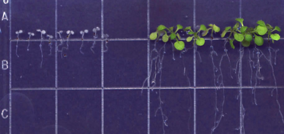 Row of green plants growing on a purple grid background to the right of much smaller white plants