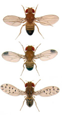 A top-down view of three Drosophila, with variations in wing spots, body striping, and legs
