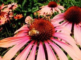 Yup - Another Photo of a bee on a flower. Last one, I promise!