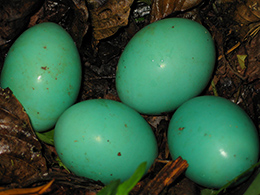 Four green tinamou eggs lying in the nest