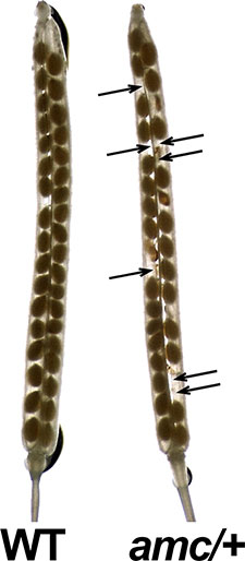 Figure of normal (left) and mutant plants side by side.