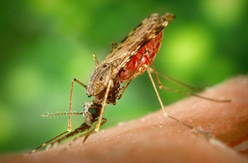 Mosquitoes from the genus Anopheles transmit the protozoan that causes malaria.