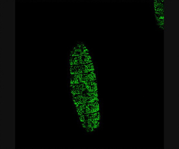 Puncturing a Drosophila embryo with the enzyme trypsin activates genes throughout the epidermis that help in wound healing, shown in green.