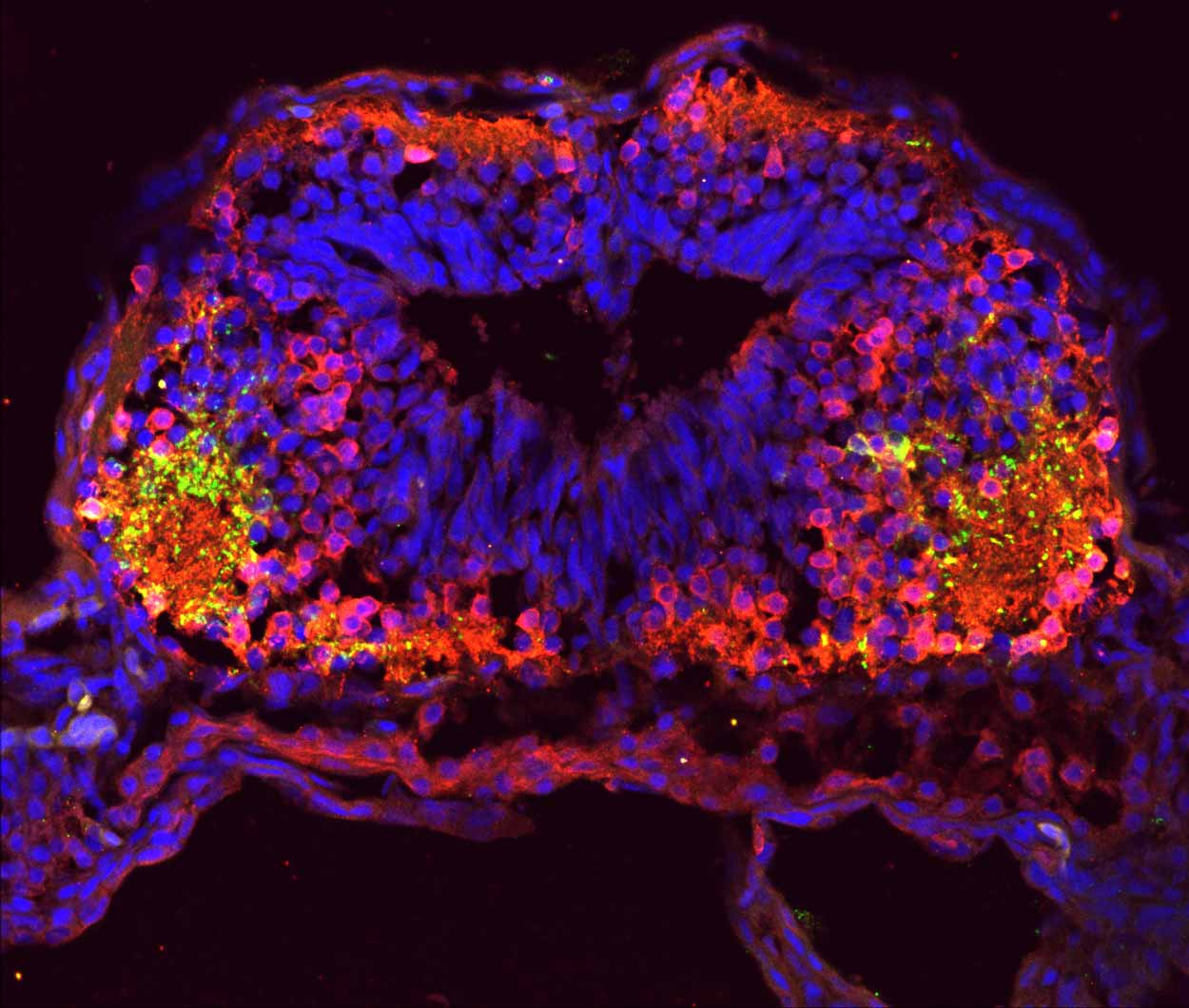 fluorescent image of tadpole brain cross-section