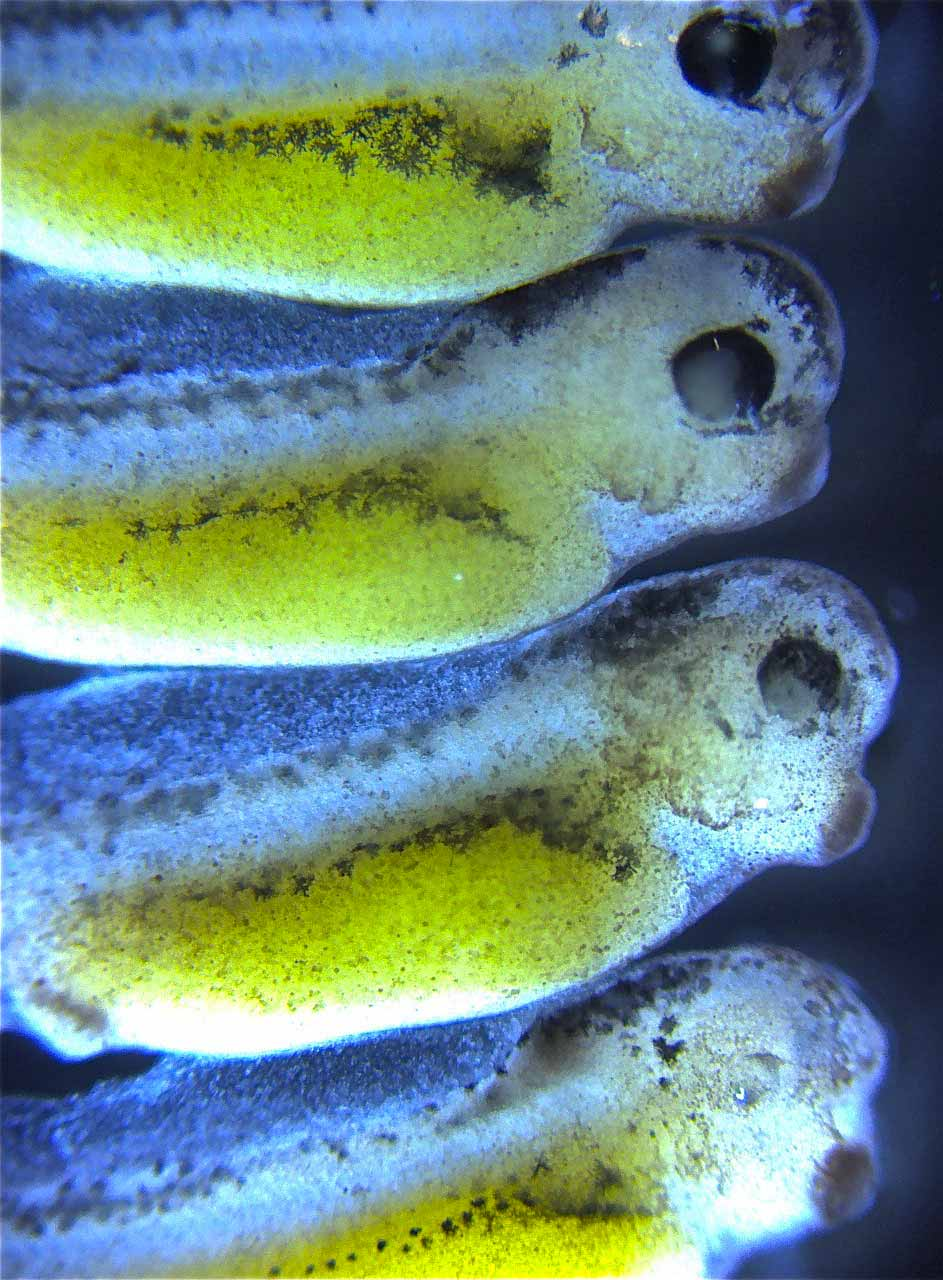 magnified detailed image of four 2-day old tadpoles