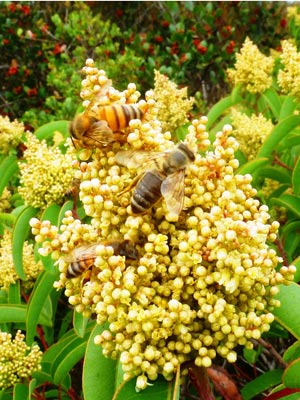 A couple of bees pollinating a laurel sumac plant