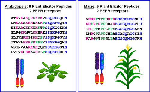 Arabidopsis and maize sequence figure