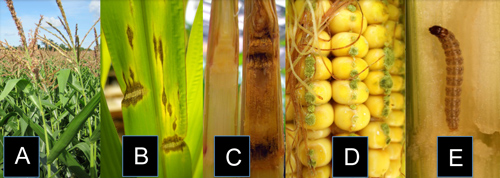 significant biotic threats to maize
