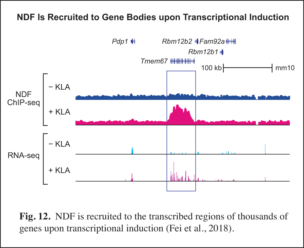 NDF is recuited to gene bodies upon transcriptional induction
