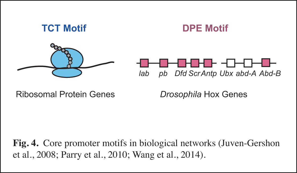 Core Promoter Motifs in Biological Networks