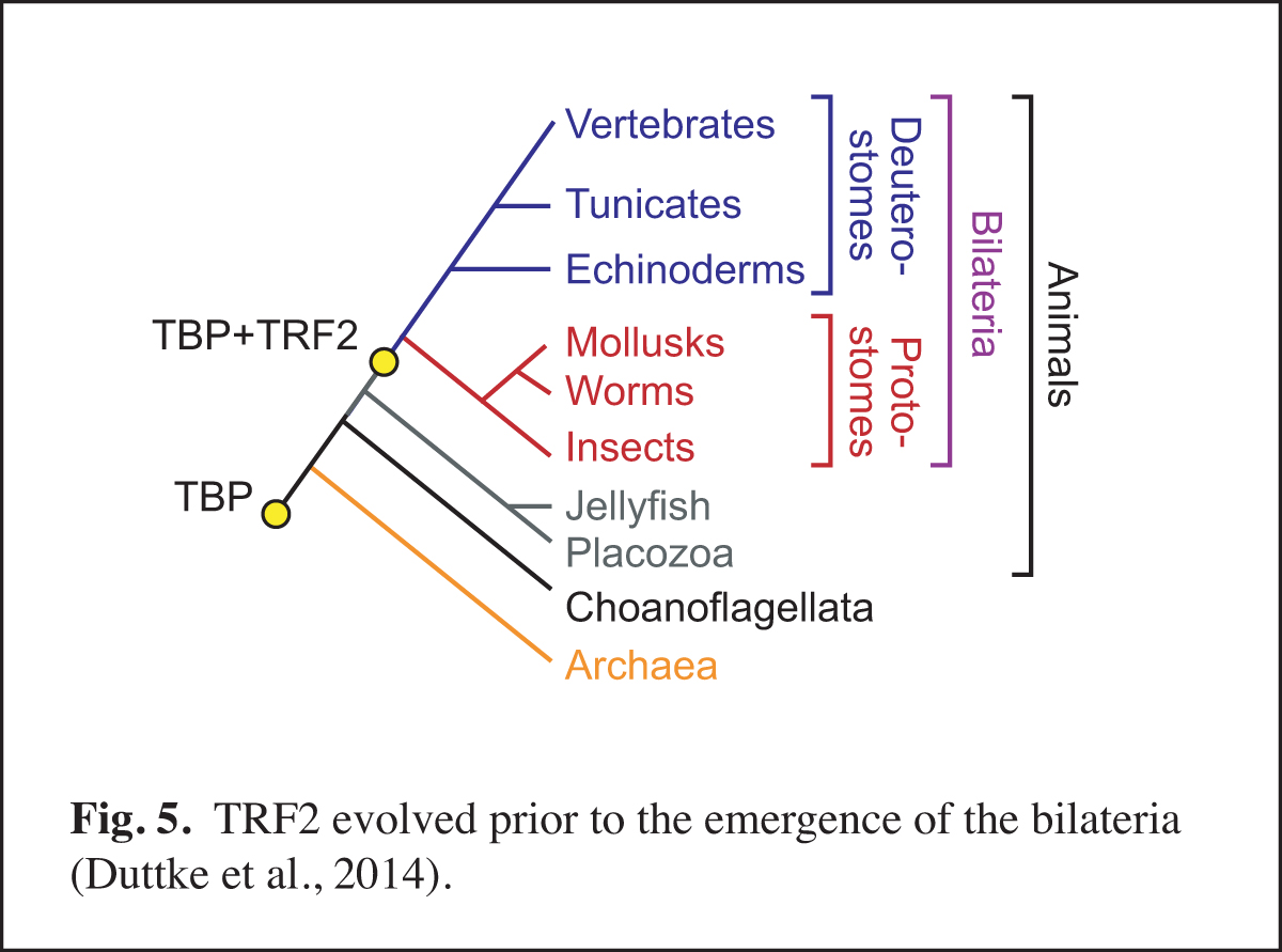 Evolution of TRF2