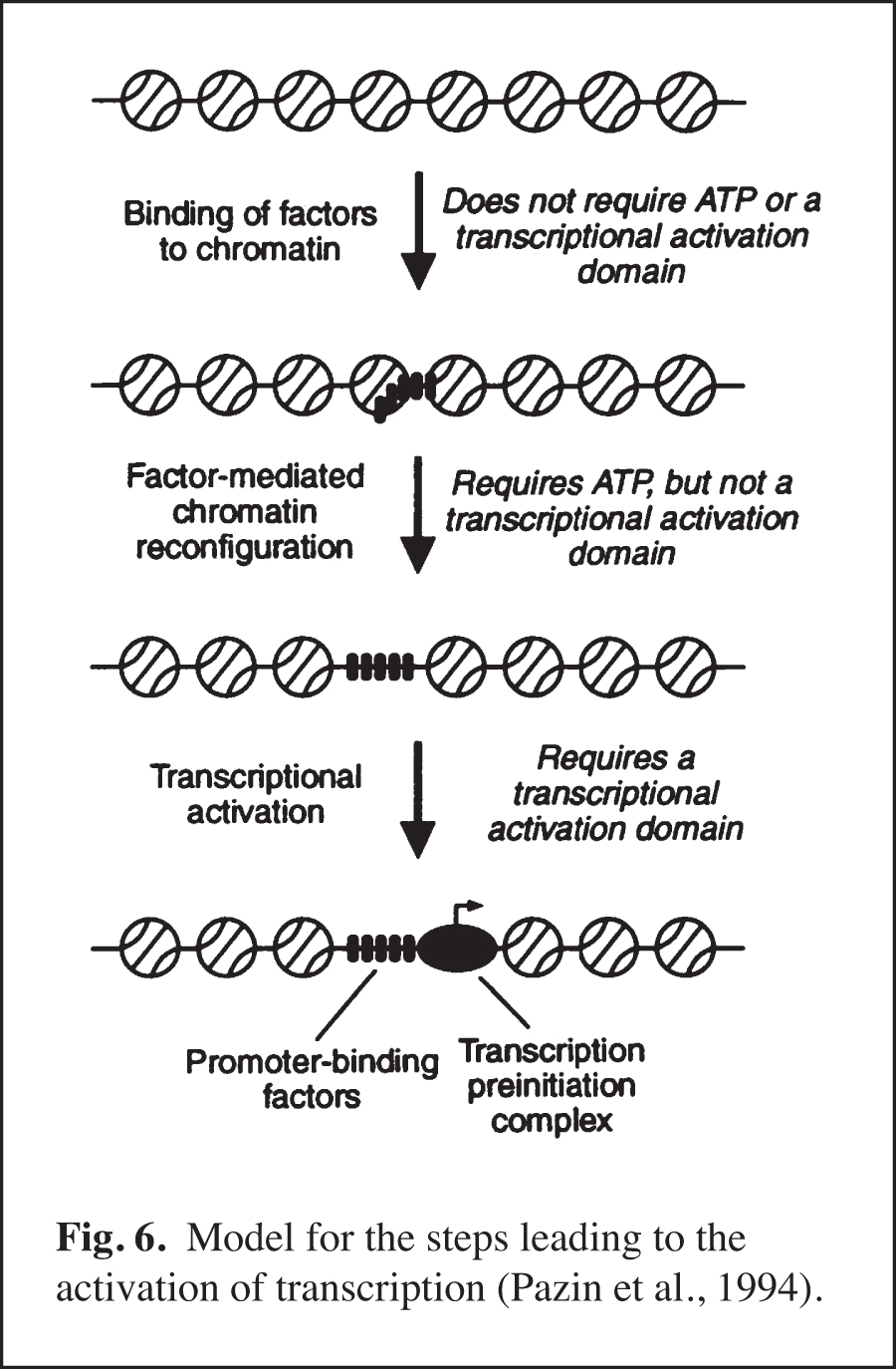 Model for steps leading to the activation of transcription