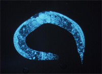 Immunofluorescence photo of C elegans