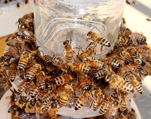 Close up of honey bees encircling a plastic cylinder