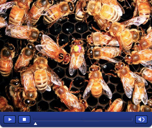 Close up of honey bees on a honeycomb