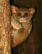 Spectral Tarsier looking at the camera