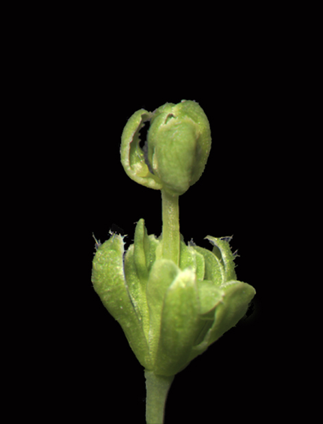 Double Arabidopsis flower