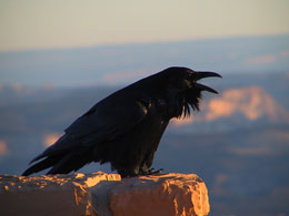 Photo of raven perched on a rock illuminated from one side by the sun rising