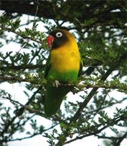 A yellow-collared lovebird sitting on a tree branch