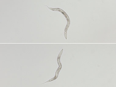Photo of normal roundworms (top) and ill roundworms (bottom) without gene that permits resistance to pore-forming toxin