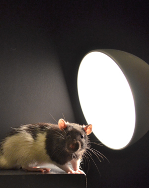 Rats exposed to less light during the day were more likely to explore the open end of an elevated maze, a behavioral test showing they were less anxious.