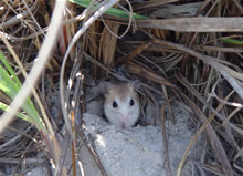 A small mouse sits on light beach sand among beachside plants. The fur on the lower side of its body closely matches the color of the sand, and the fur on the upper side of its body is very similar in color to the plants surrounding it.