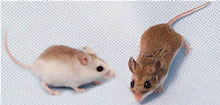 Two mice shown side by side, the first with fur that is lighter, especially on its sides, though still brown on the very top. The second is a normal field mouse with very dark brown fur covering its entire top side.