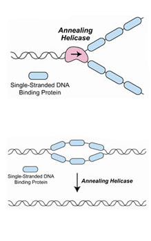 Diagram of two annealing helicases