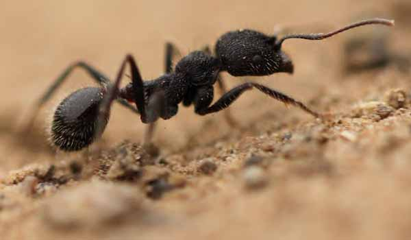 an analysis of the many ant species in biology Many ant species' thermal traits will be measured, shedding insight into  is  collecting and analyzing the ants collected in neon beetle pitfall.