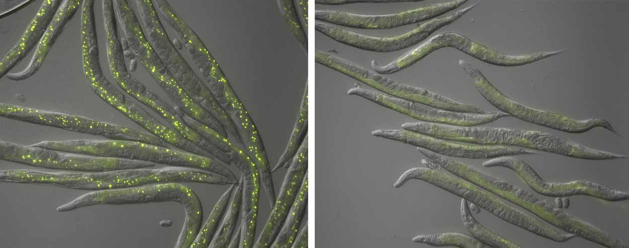comparitive flourescent images of c.elegans, the left image has more fluorescent dots than the right
