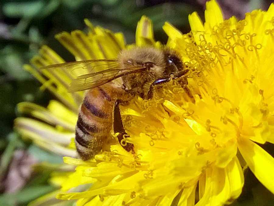 a bee on a dandelion forages for nectar