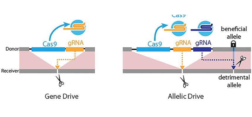 Diagram of left panel: Gene-drive is mediated by a guide RNA (gRNA) that cuts at the exact site (scissors) where the gene-drive element (blue box: Cas9 gene; yellow box: gRNA) is inserted into the genome, resulting in full gene-drive element copying.  Right panel: The new allelic drive is accomplished by the addition of a second gRNA (blue box) to a gene drive element that preferentially cuts a detrimental allele (scissors), but not the beneficial allele, resulting in beneficial allele copying.