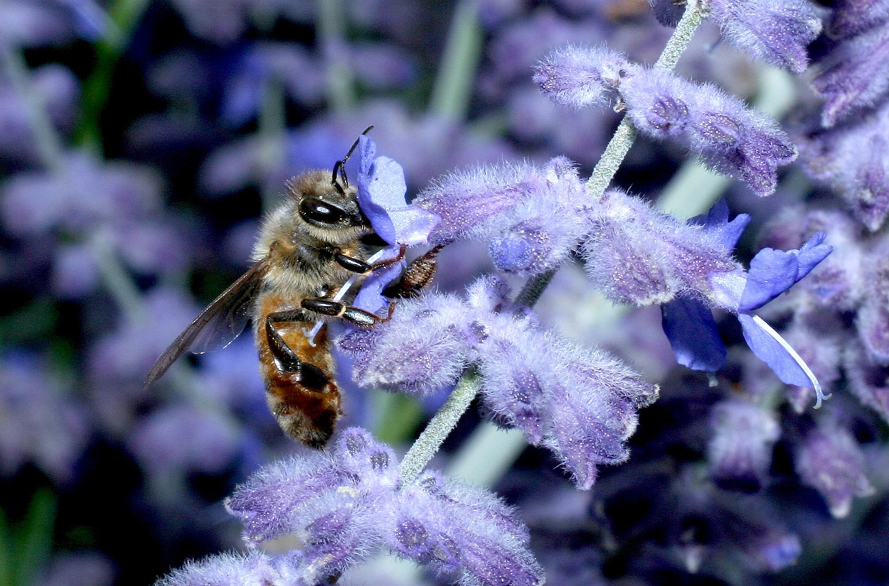 Close up photo of a honey bee foraging on a purple flower.