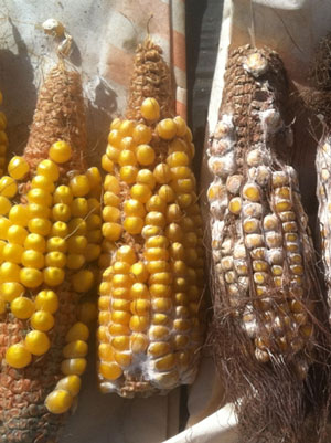 Three maize lined up next to three maize encrusted in white fungi. Figure with organic molecules depicted below the maize.