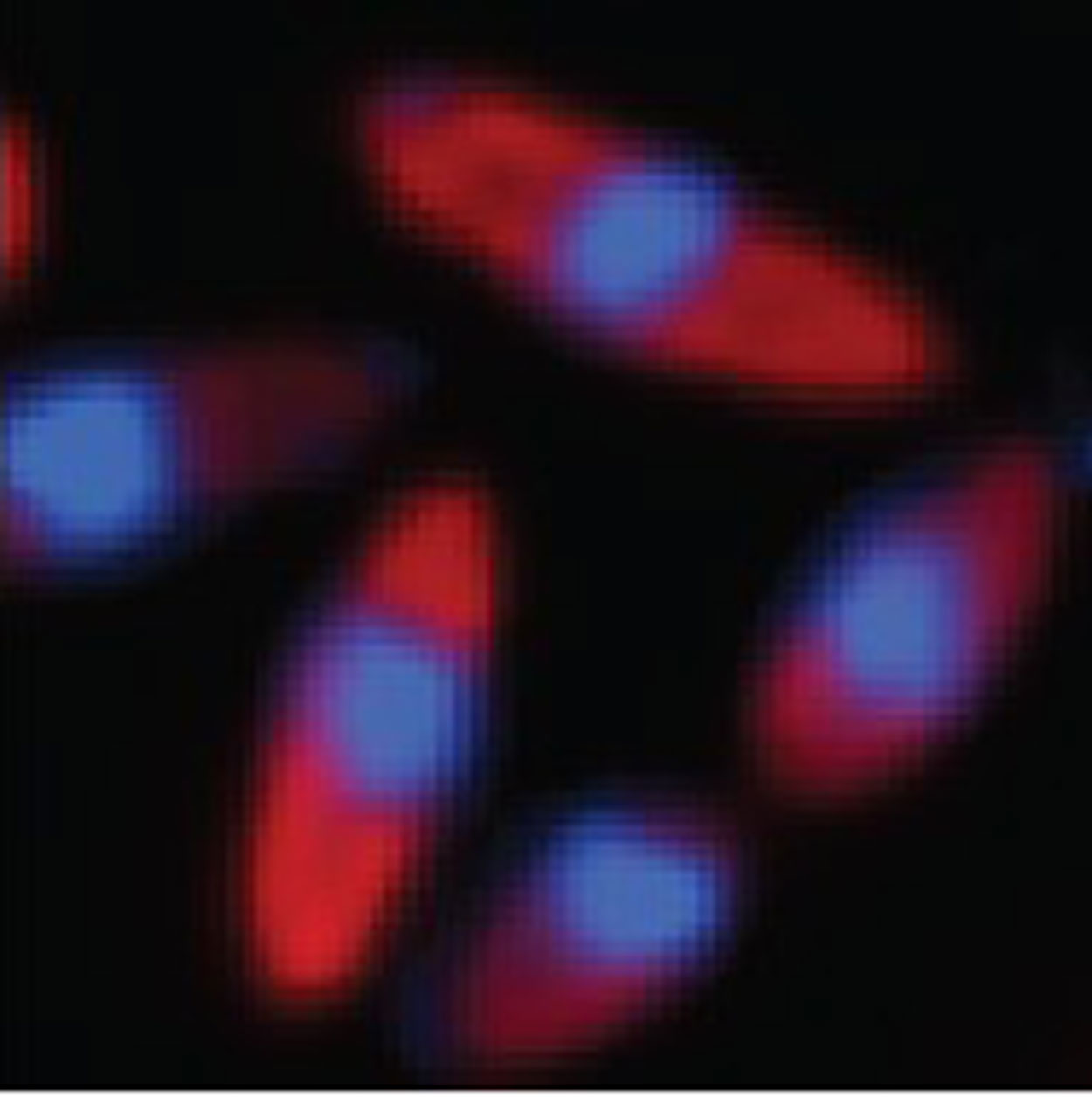 Microscopic photo of longated red-colored cells surrounding blue-colored cells.