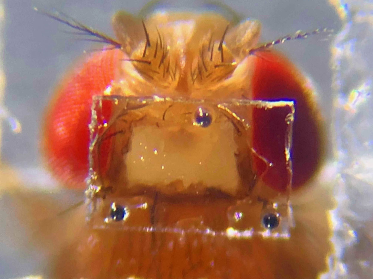 A closeup photo of a fruit fly head in a clear rectangular window