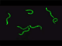 Glowing roundworms