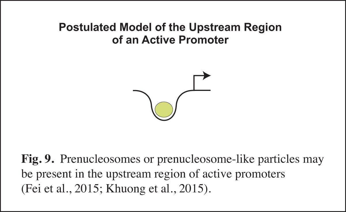 Prenucleosomes at active promoters